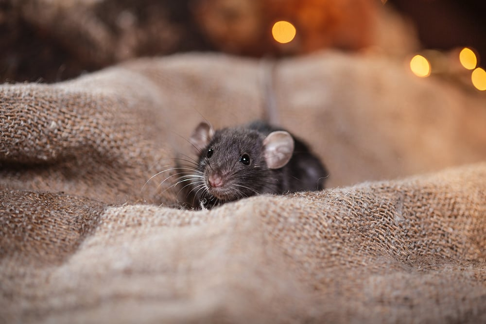rodent removal and pest control