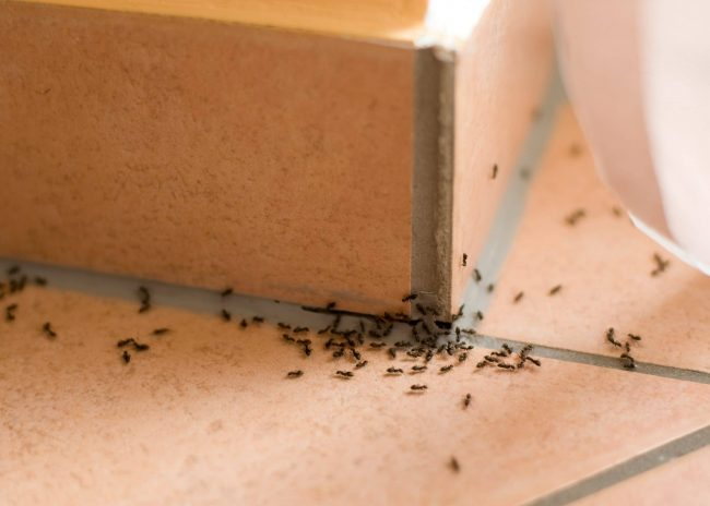 ants crawling on wall and floor of home