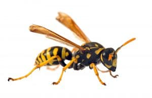 wasp removal and control services
