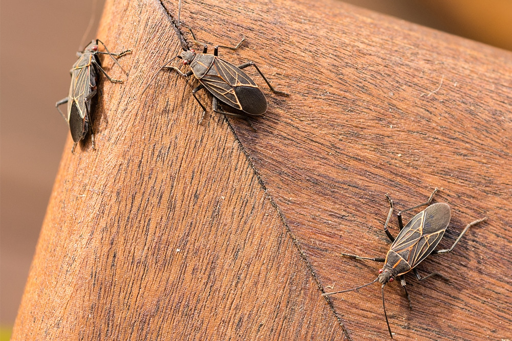 boxelder bugs removal and prevention